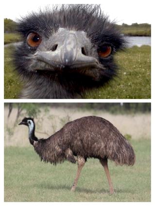 Emu Compilation